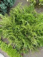 Juniperus communis можжевельник обыкновенный